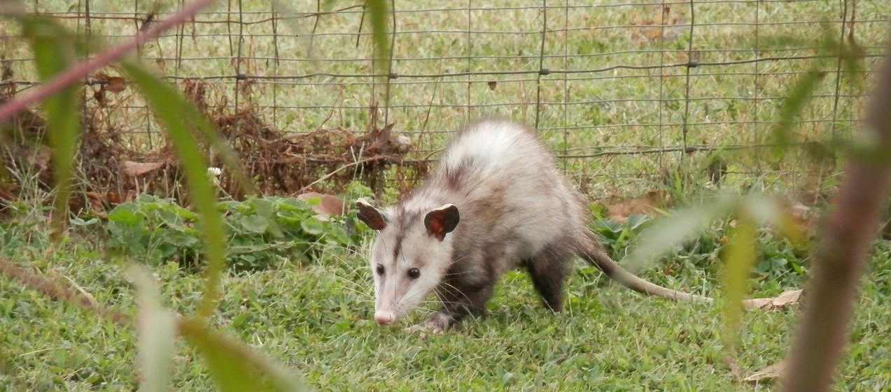 Photo of an opossum searching for food