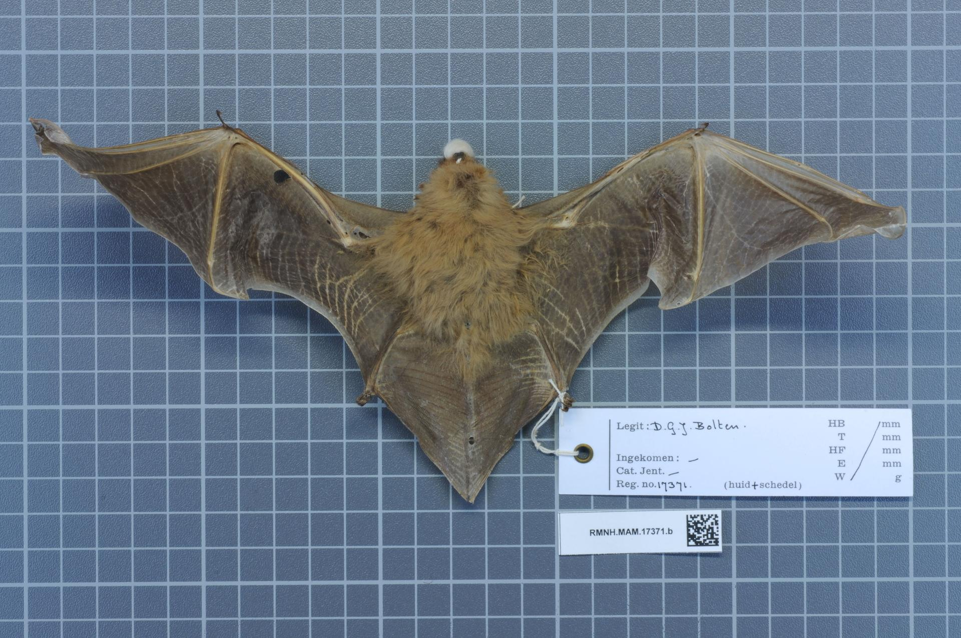 Photo of a deceased southern yellow bat