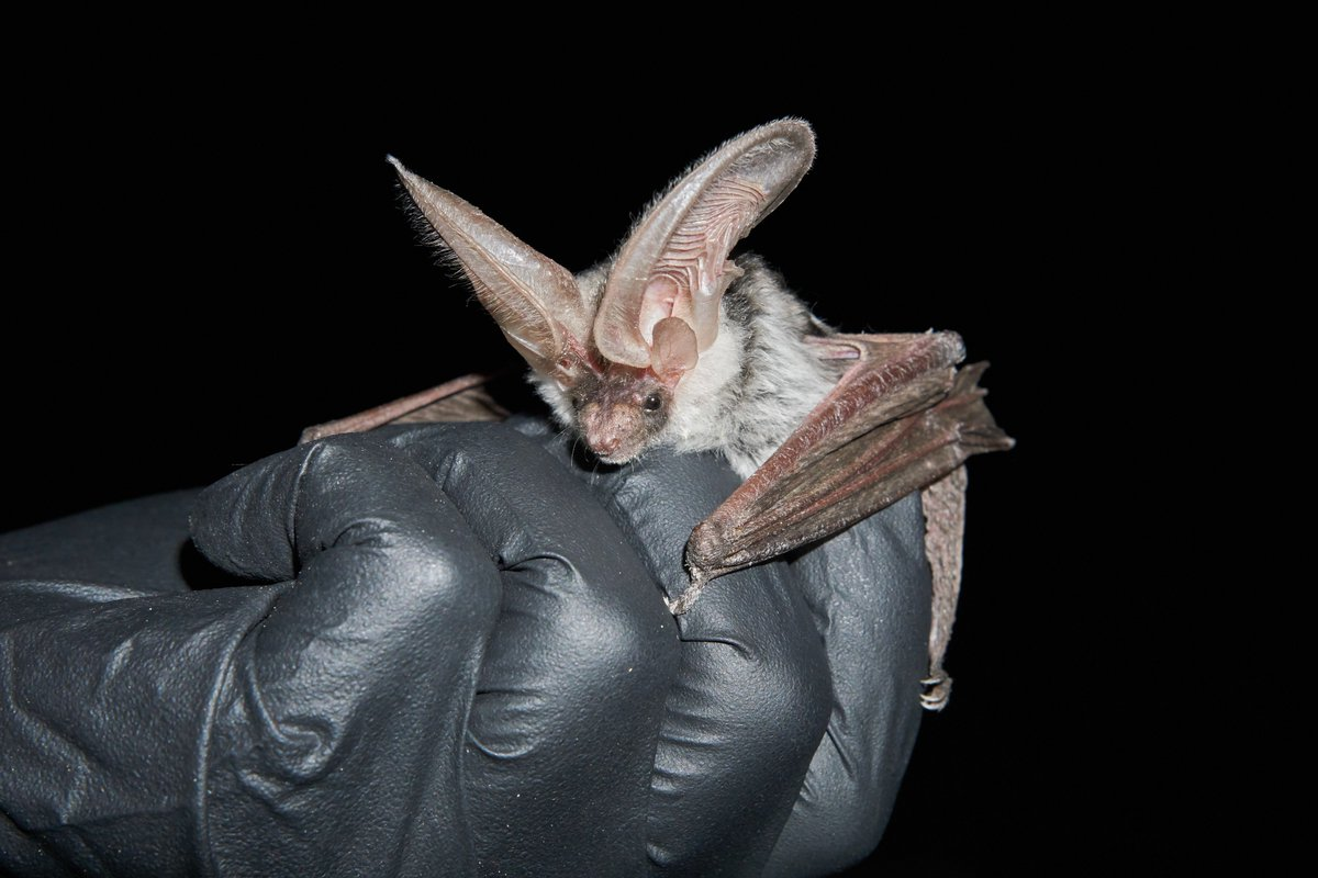 Image of spotted bat caught by the national park service