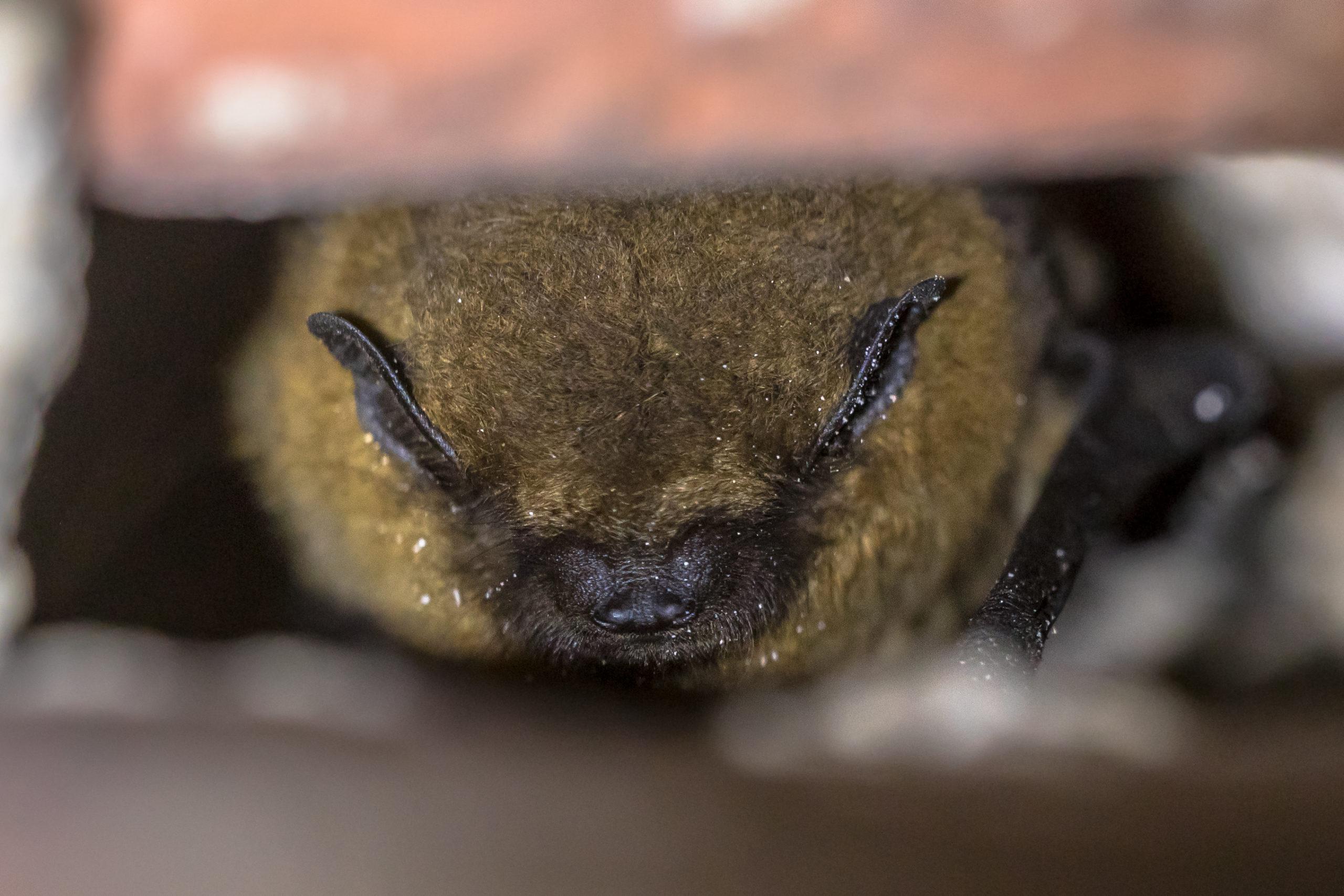 Photo of tricolored bat in hibernation