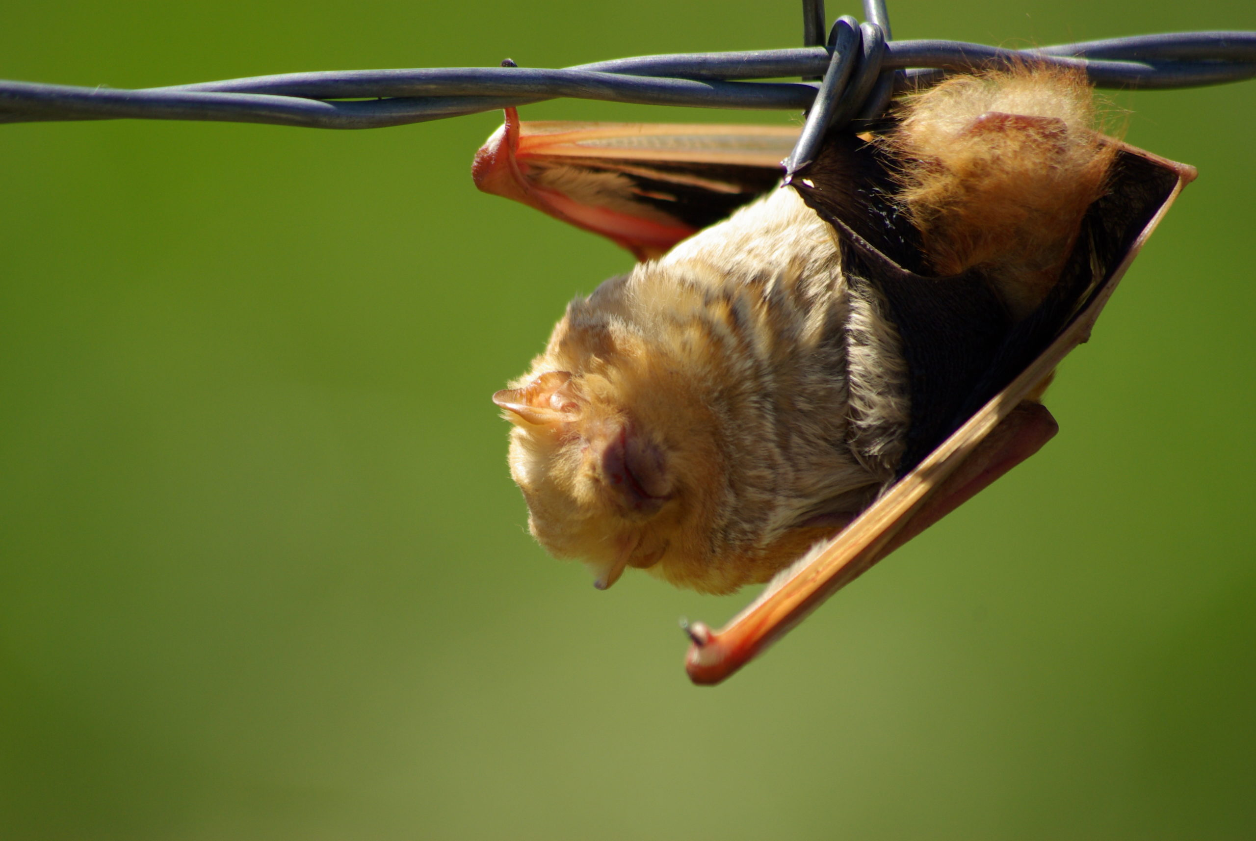 Image of the western red bat