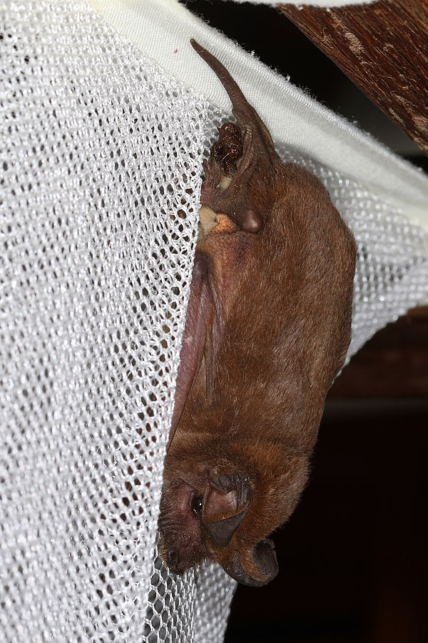 Photo of a Big Free Tailed Bat captured in a net