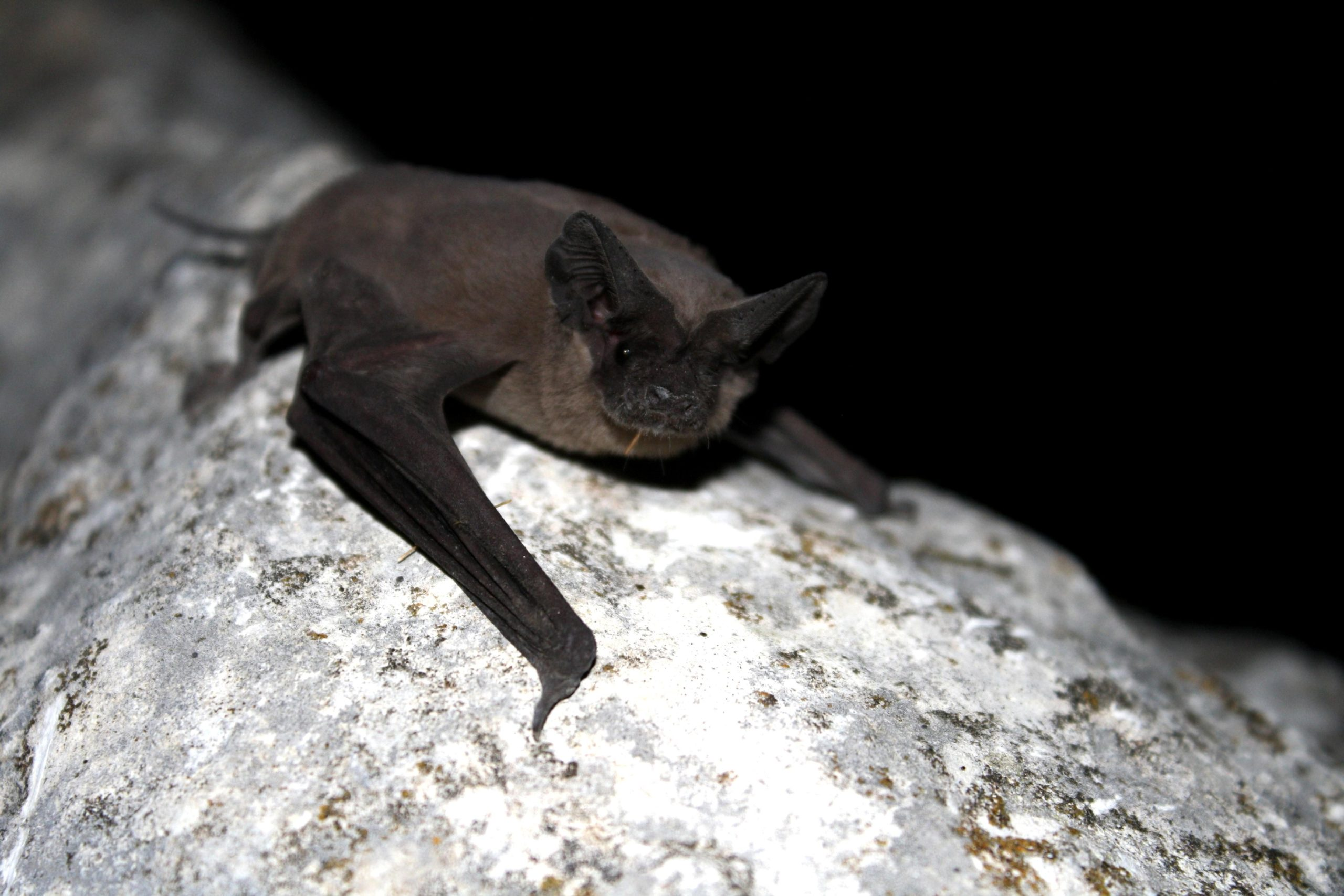 Image Big Free Tailed Bat inside a cave