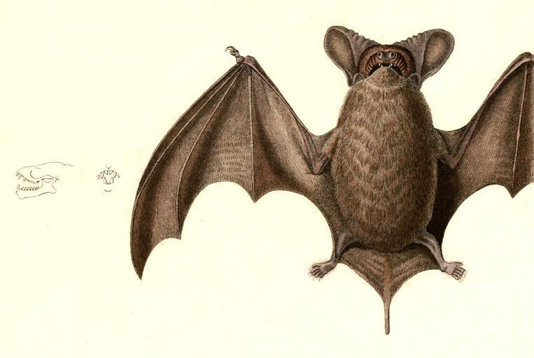 Illustration of the Brazilian Free-Tailed Bat body