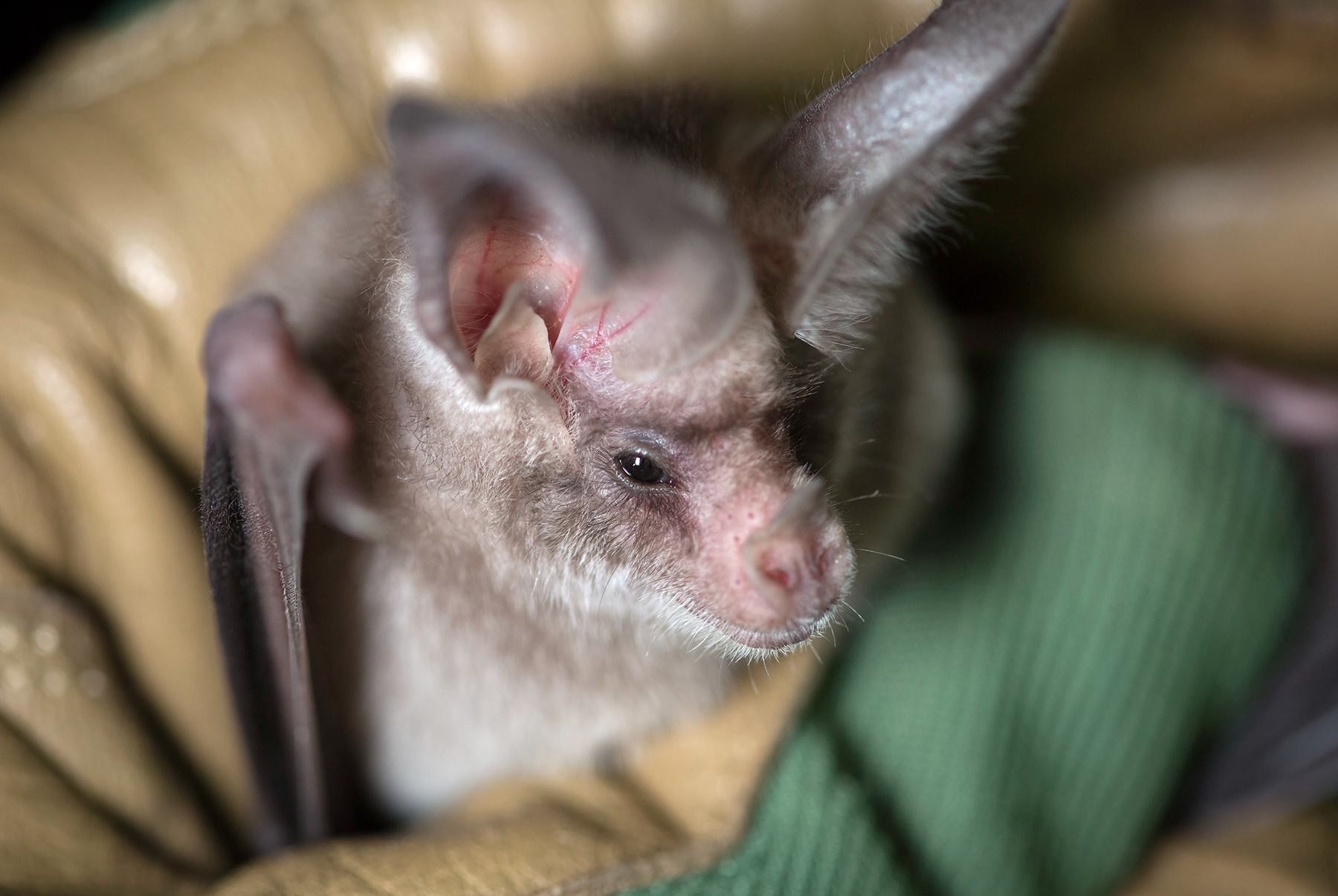 Image of the california leaf nosed bat