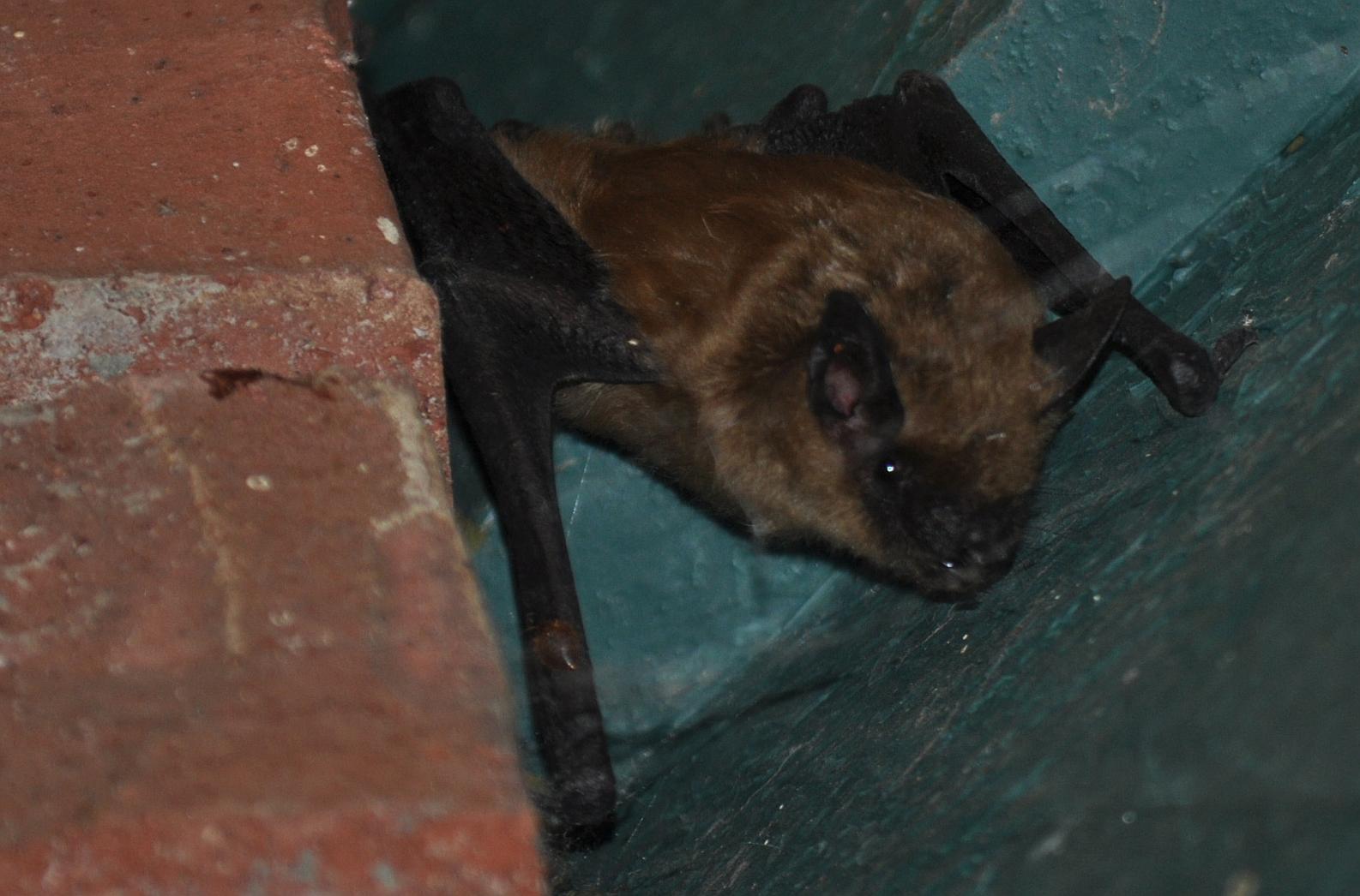 Photo of the california myotis bat in an attic