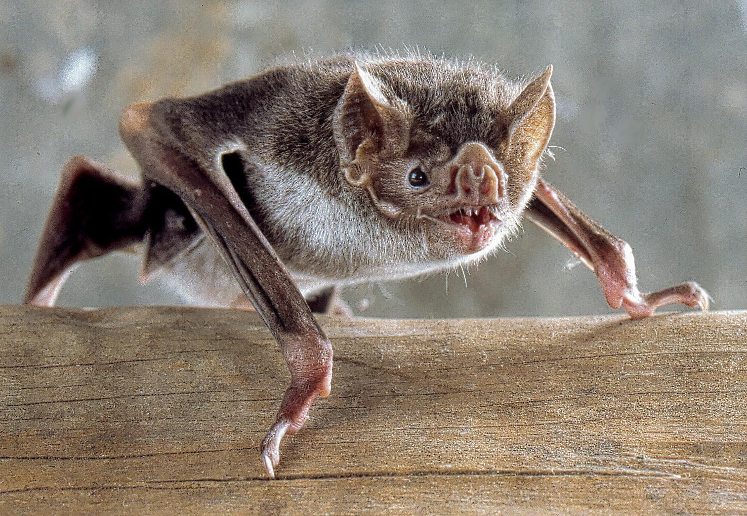 Photo of common vampire bat