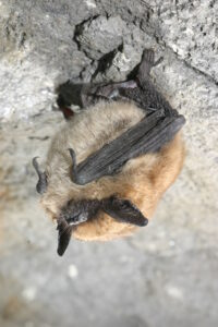 Picture of a roosting eastern small footed myotis bat