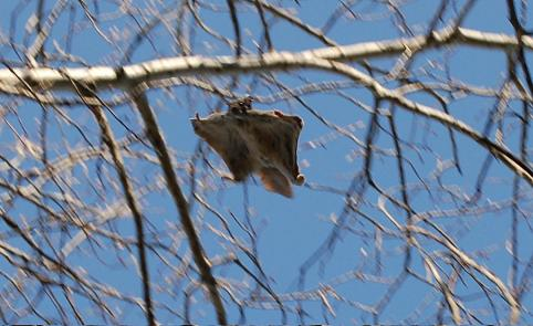Photo of northern flying squirrel gliding from tree branch