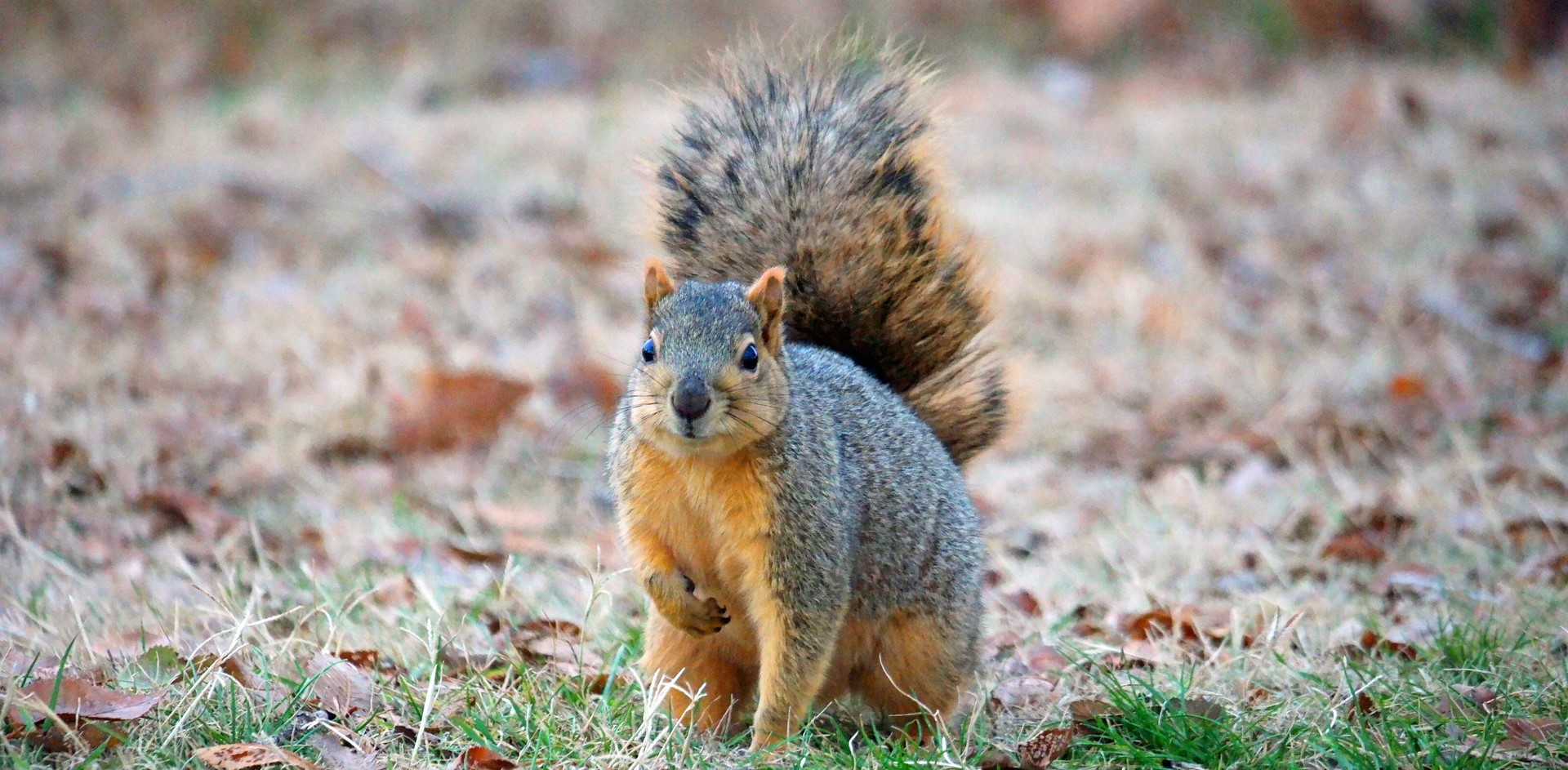 Image of fox squirrel