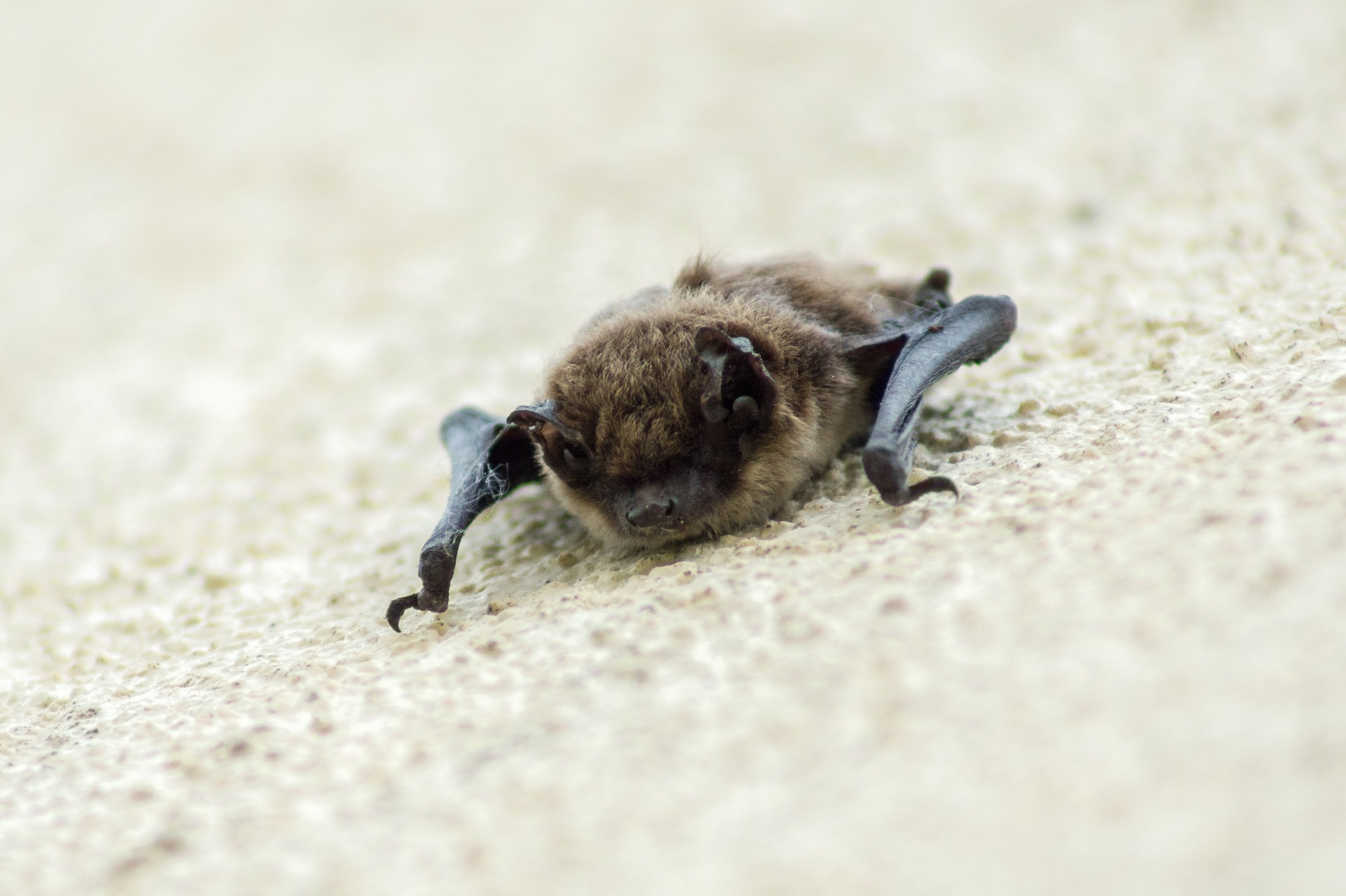 Photo of a Fringed Myotis bat