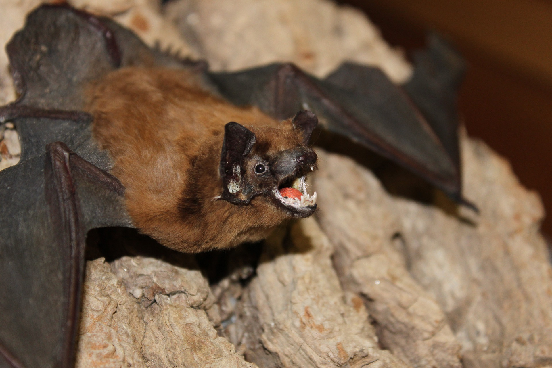 Image of Fringed Myotis roosting in a cave