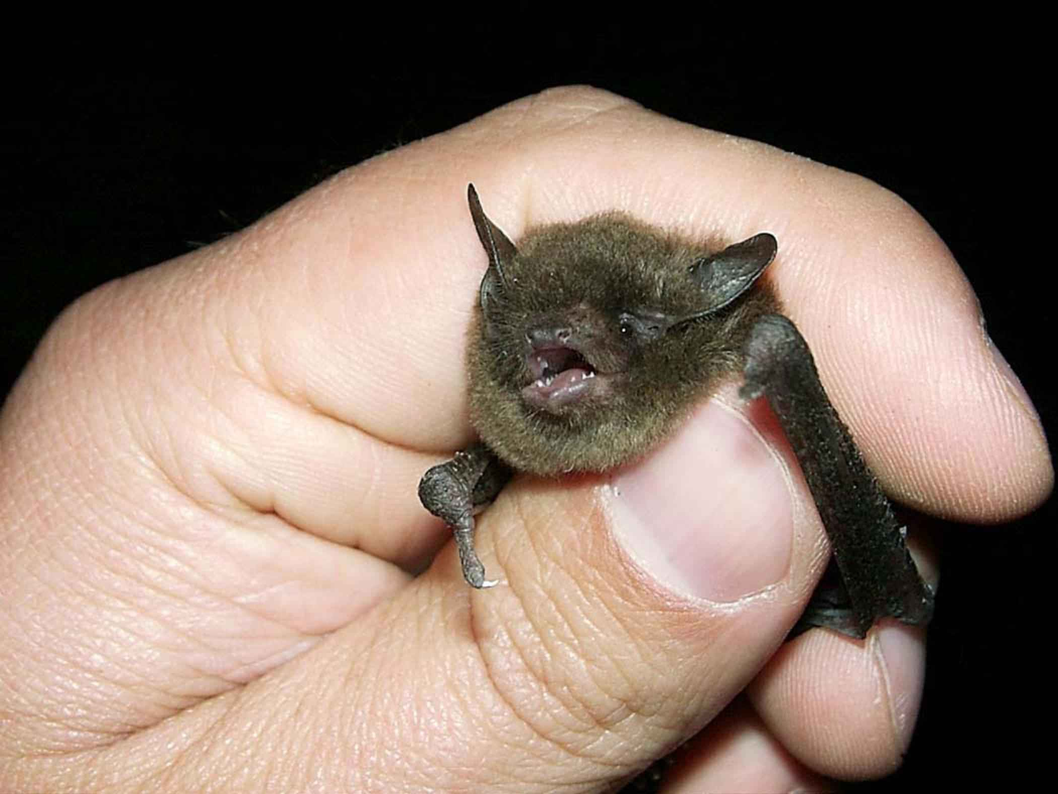 Picture of a captured gray myotis bat