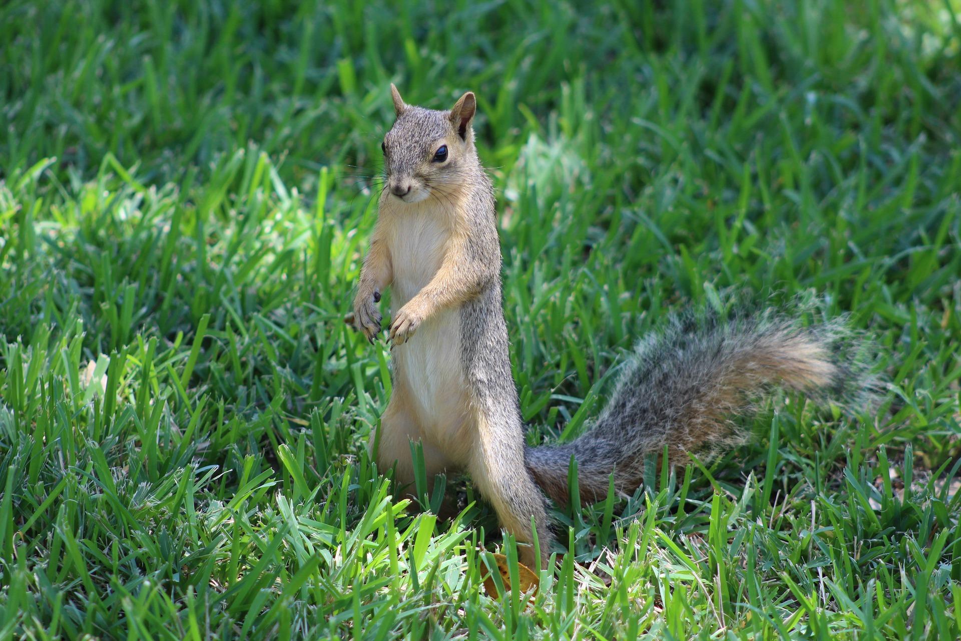 Photo of gray squirrel in north America