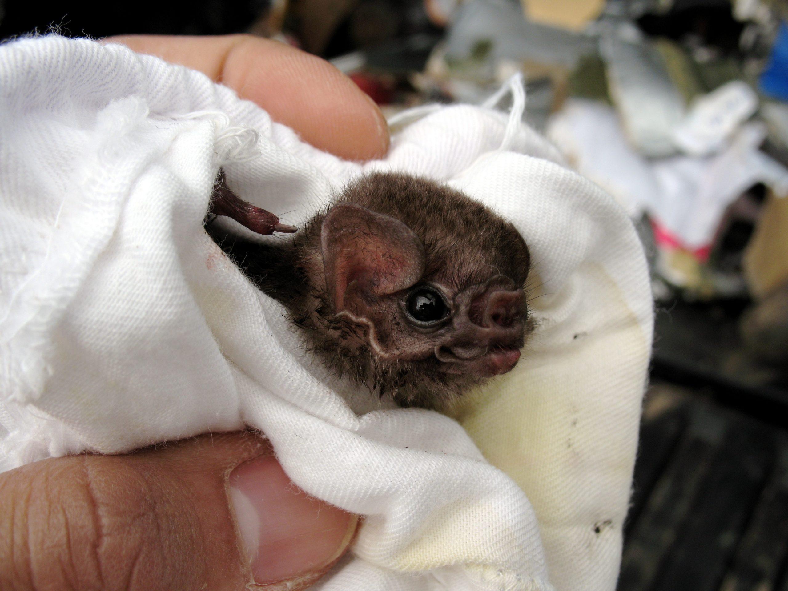 Photo of Hairy-Legged Vampire Bat newborn