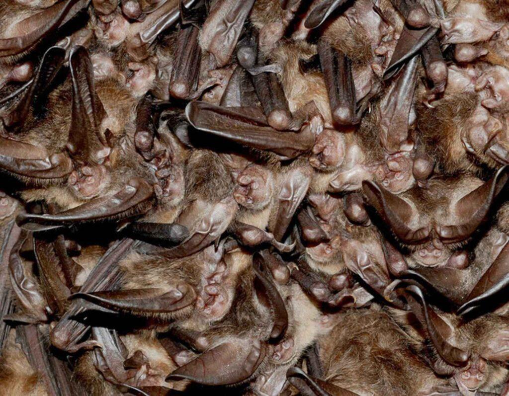 Photo of hibernating Indiana bats