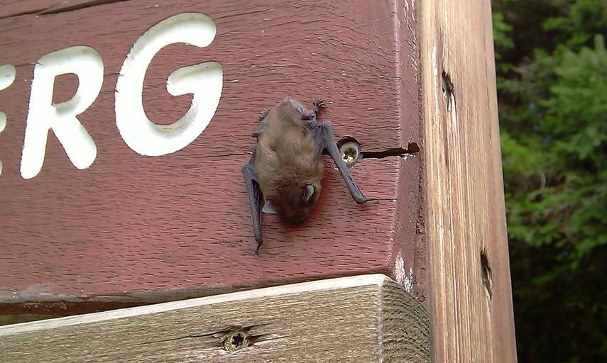 Image of Keen's Myotis in a state park