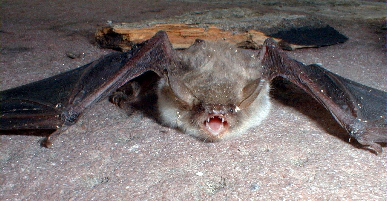 Photo of a captured long eared myotis bat