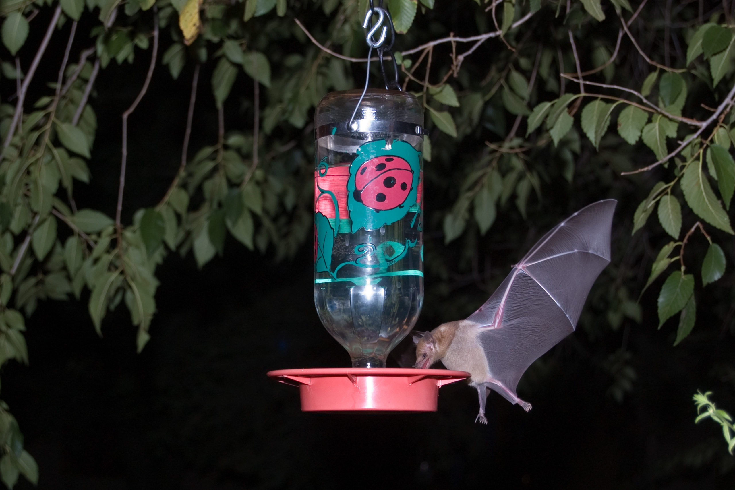 Photo of Mexican Long-Tongued Bat eating from bird feeder