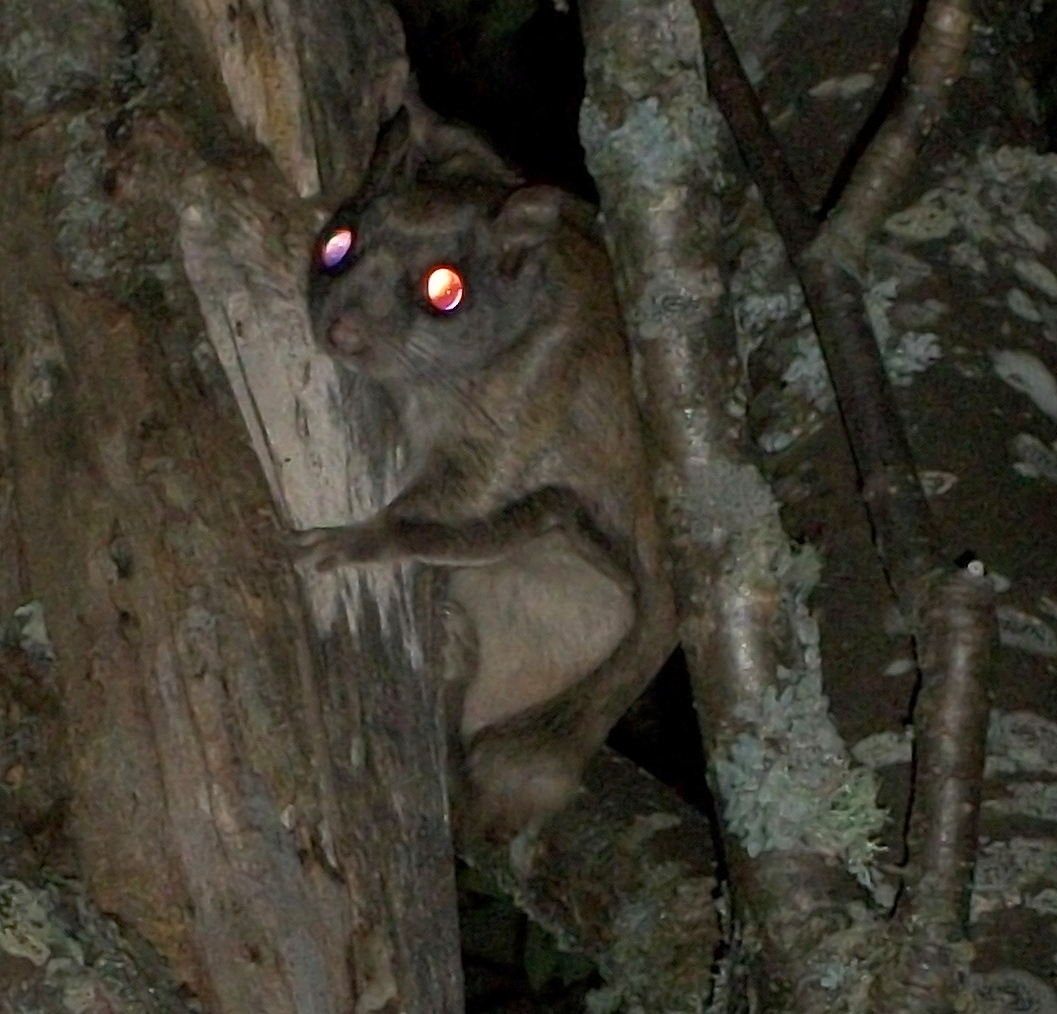 Image of northern flying squirrel climbing tree