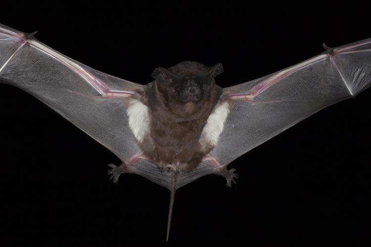Image of a flying pocket free tailed bat