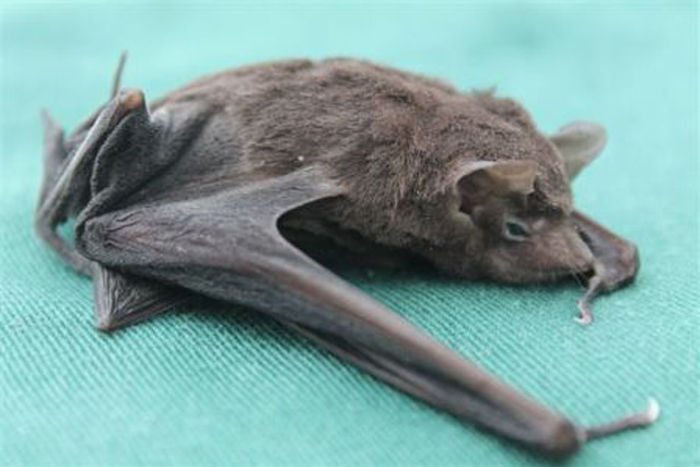 Photo of a pocketed free tailed bat resting