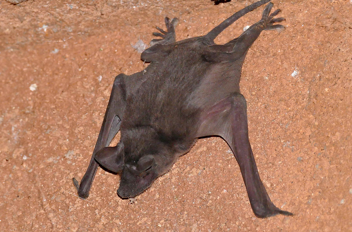 Picture of pocket free tailed bat that has fallen from a roost