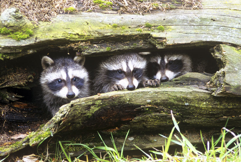 Image of young raccoons in a hollow tree
