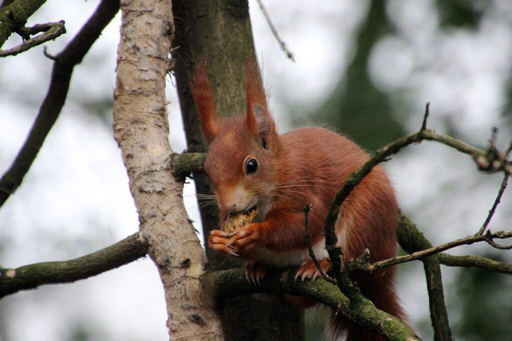picture of red squirrel building nest