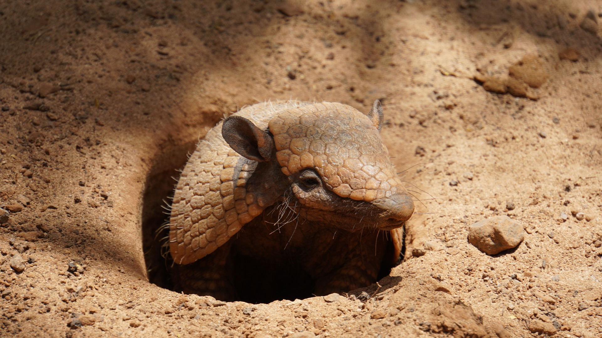 Photo of armadillo emerging from burrow
