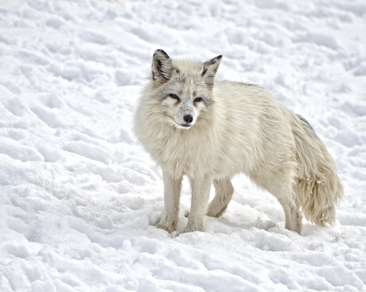 Photo of an artic fox in the snow