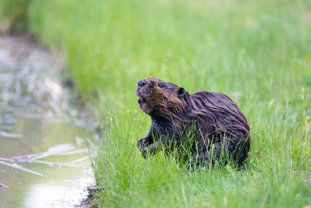 Photo of beaver near pond