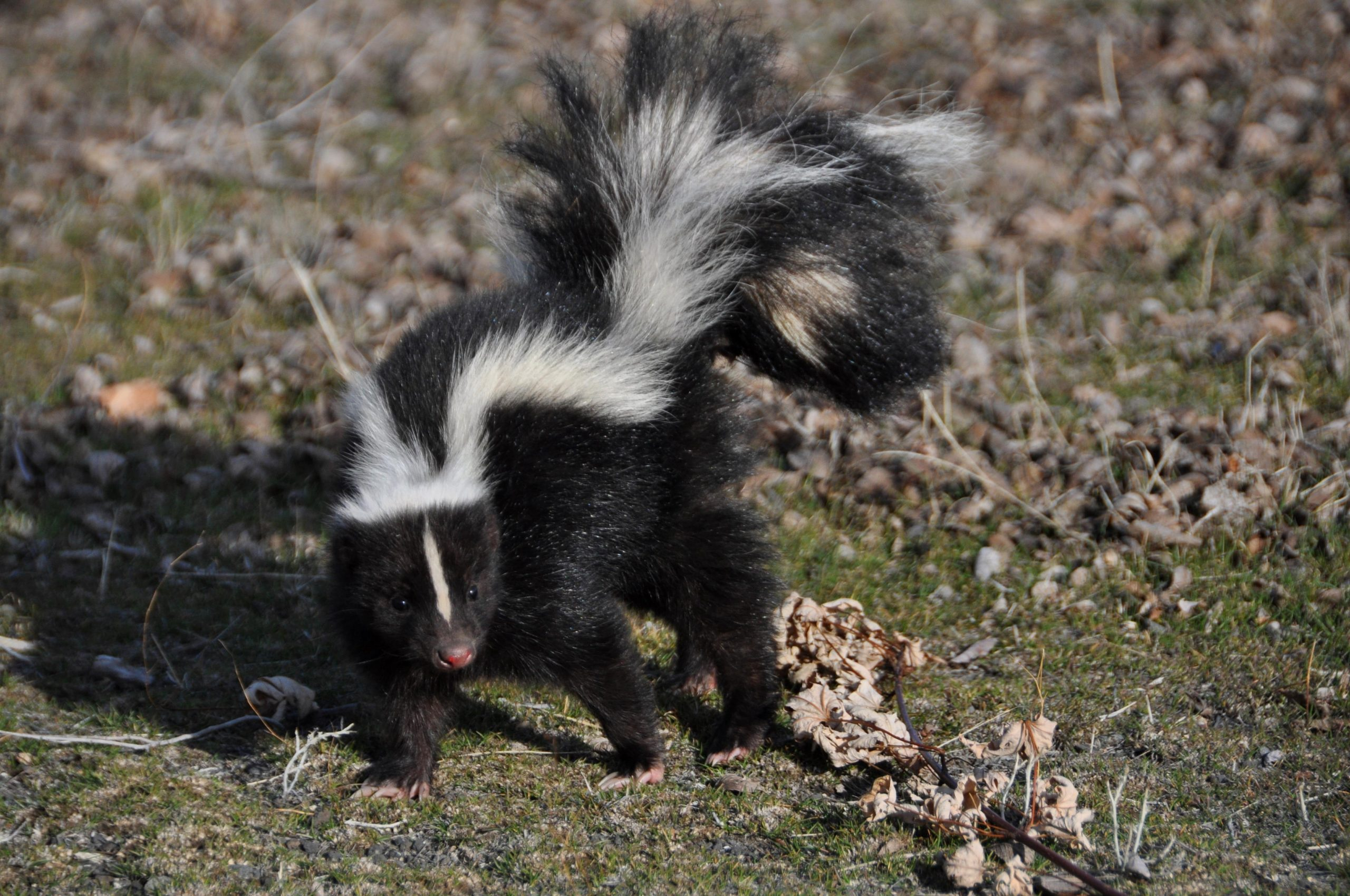 Picture of a skunk running from predators