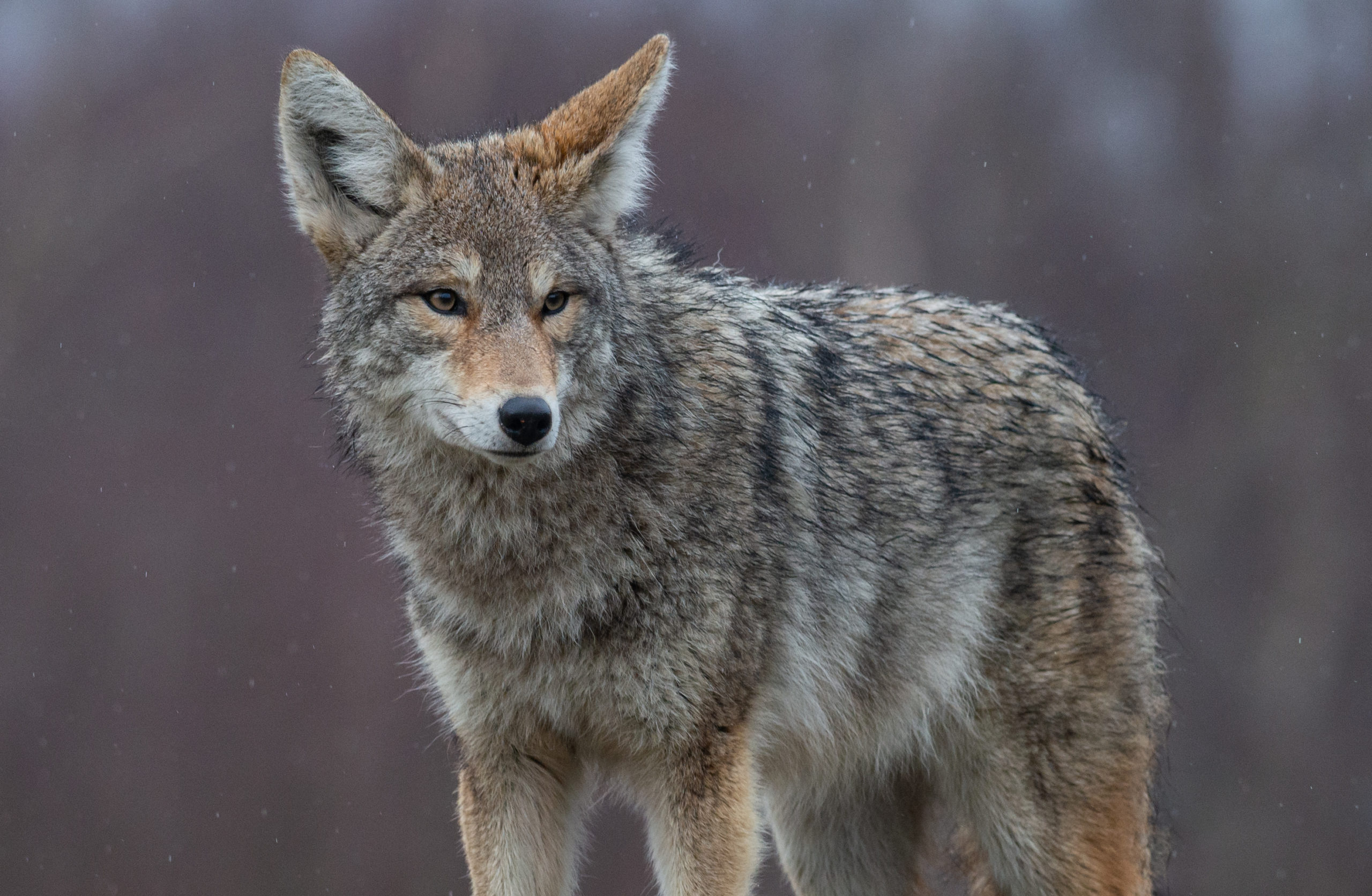 Image of a grey coyote in wilderness