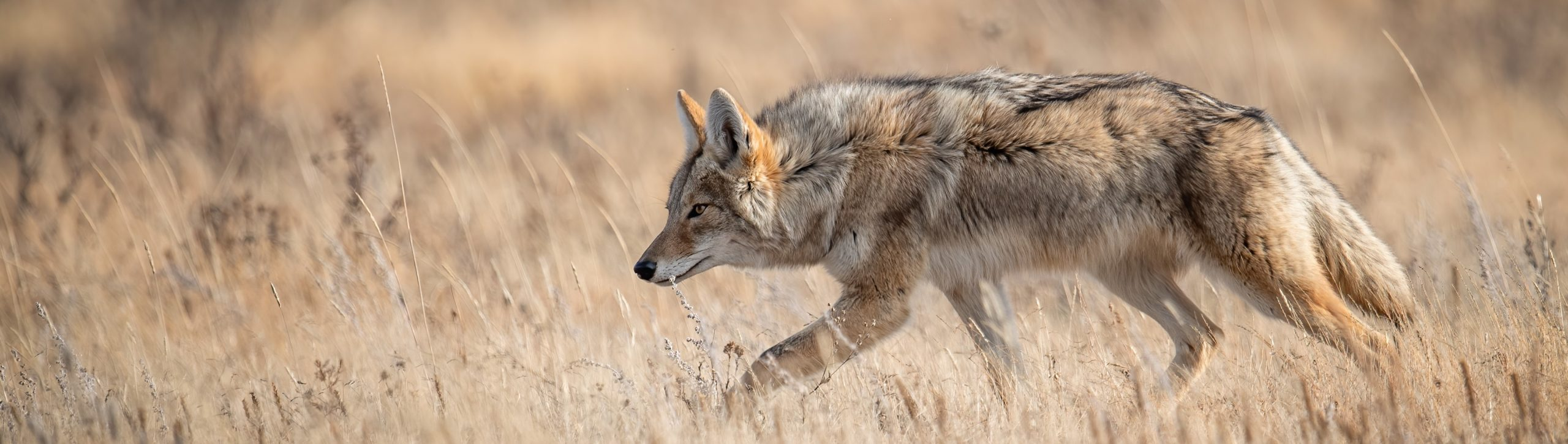 Image of coyote stalking small prey