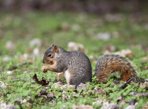 Photo of fox squirrel eating nuts