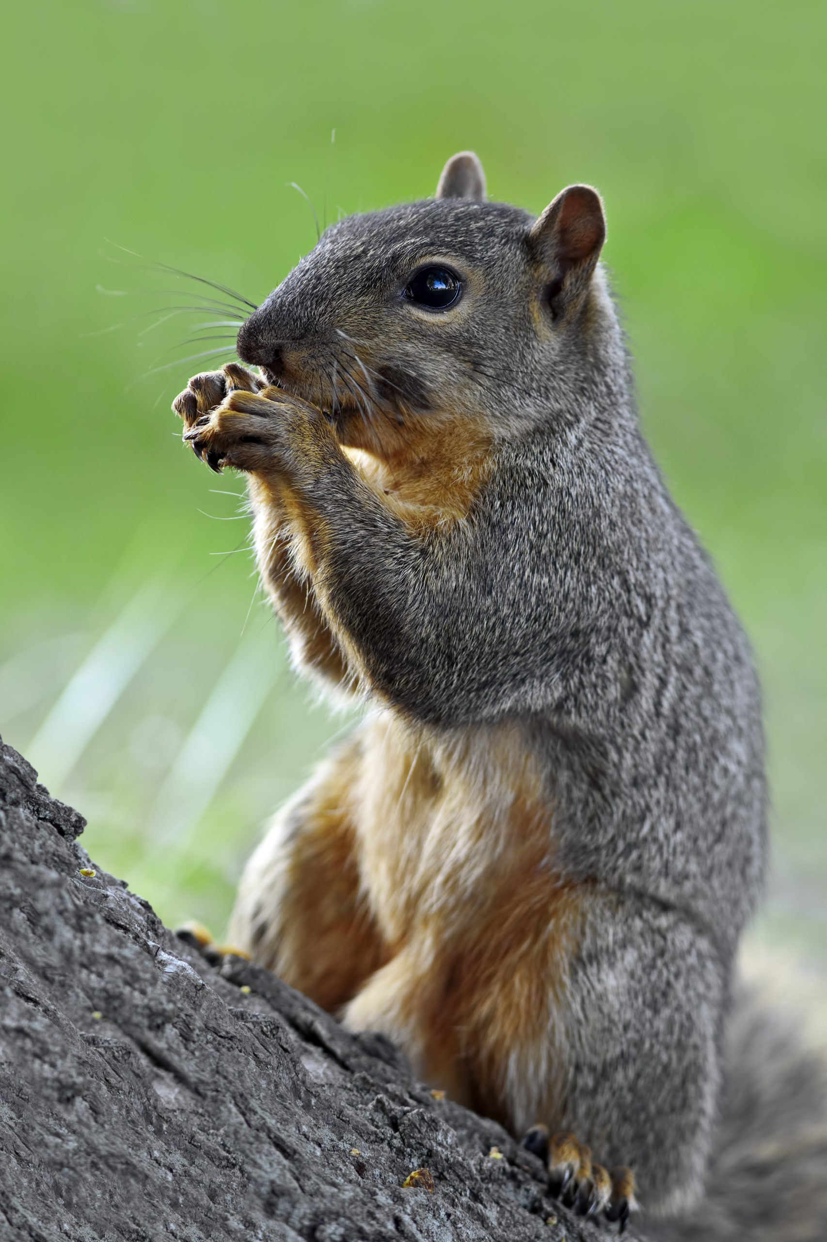 Picture of a feeding eastern fox squirrel