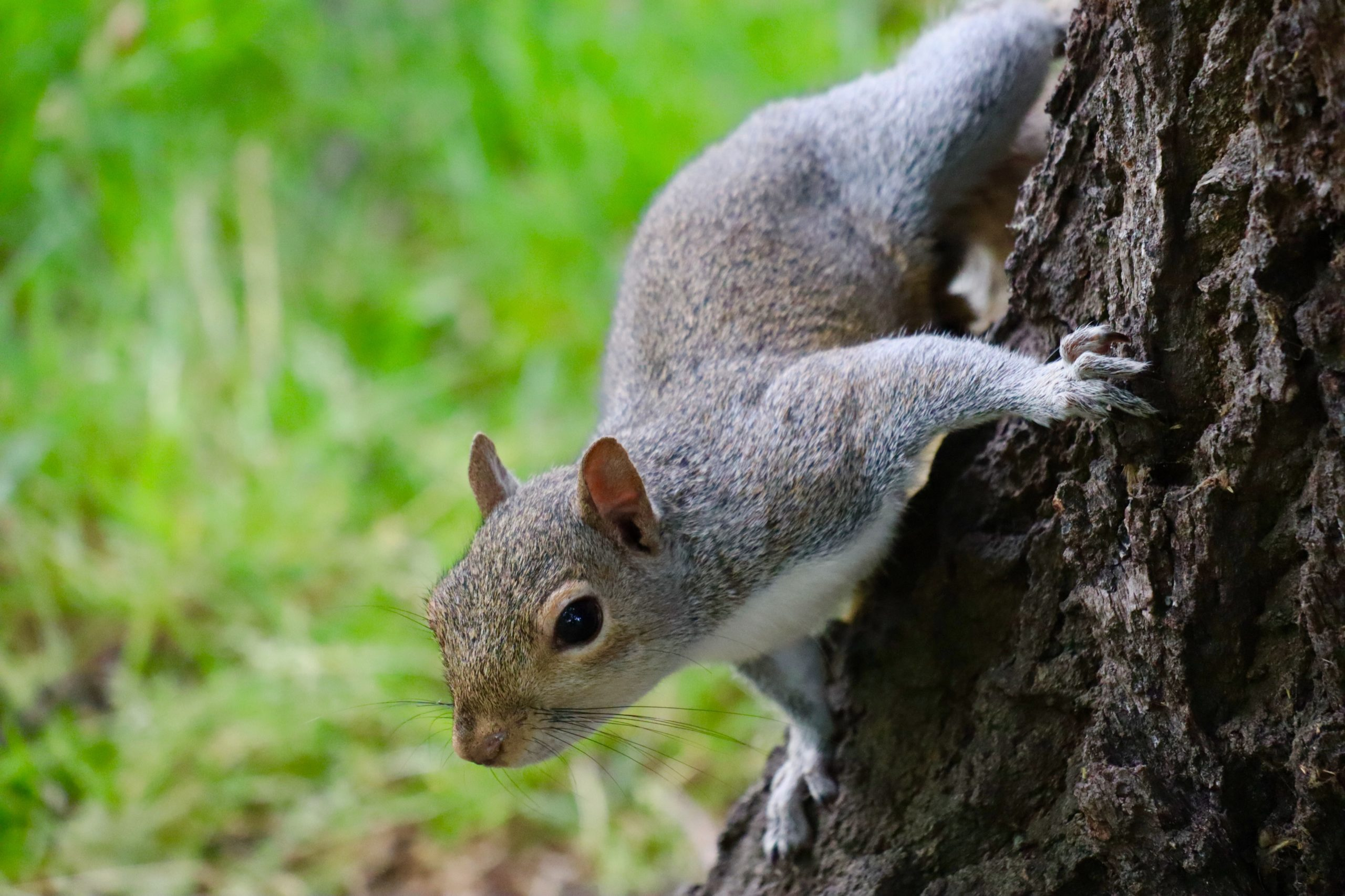 Picture of common gray squirrel climbing tree