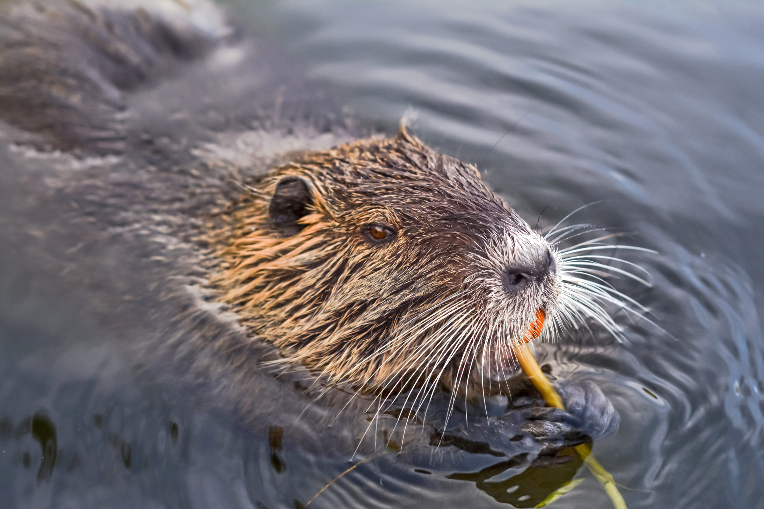 Picture of Eurasian Beaver chewing wood for den