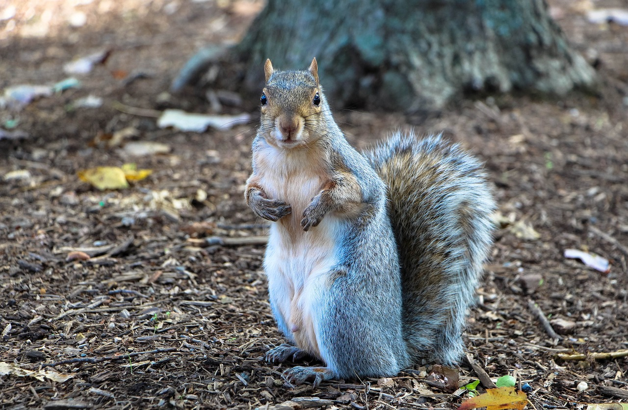 Image of gray squirrel on forest ground