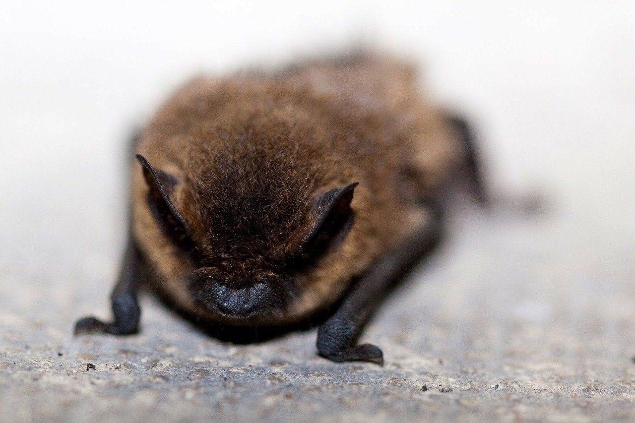 picture of little brown bat