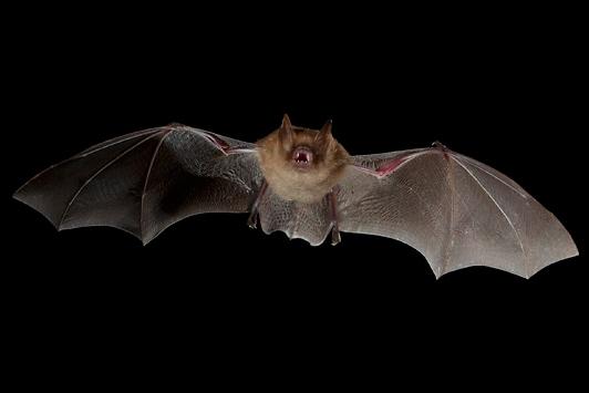 Photo of a long legged myotis bat flying
