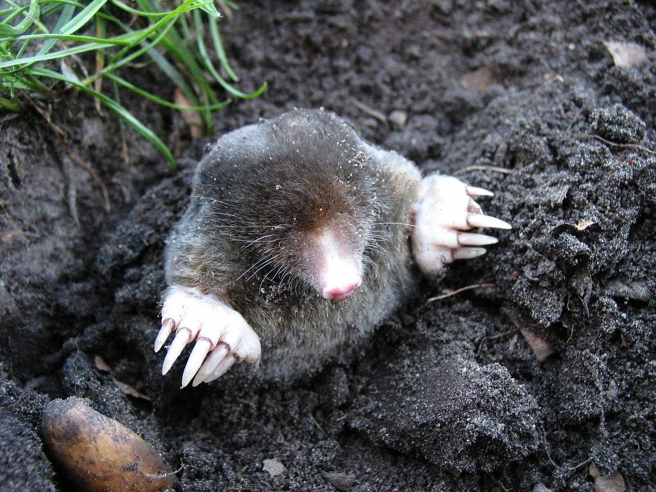 Picture of a mole digging in a garden
