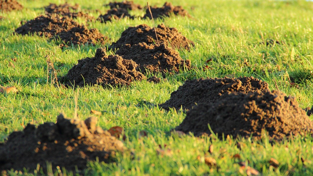 Image of mole mounds
