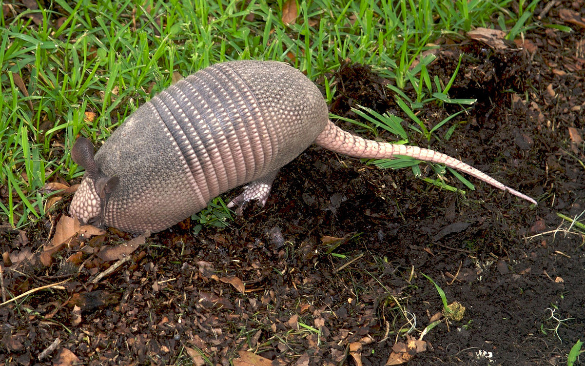 Image of naked-tailed armadillo leaving a burrow