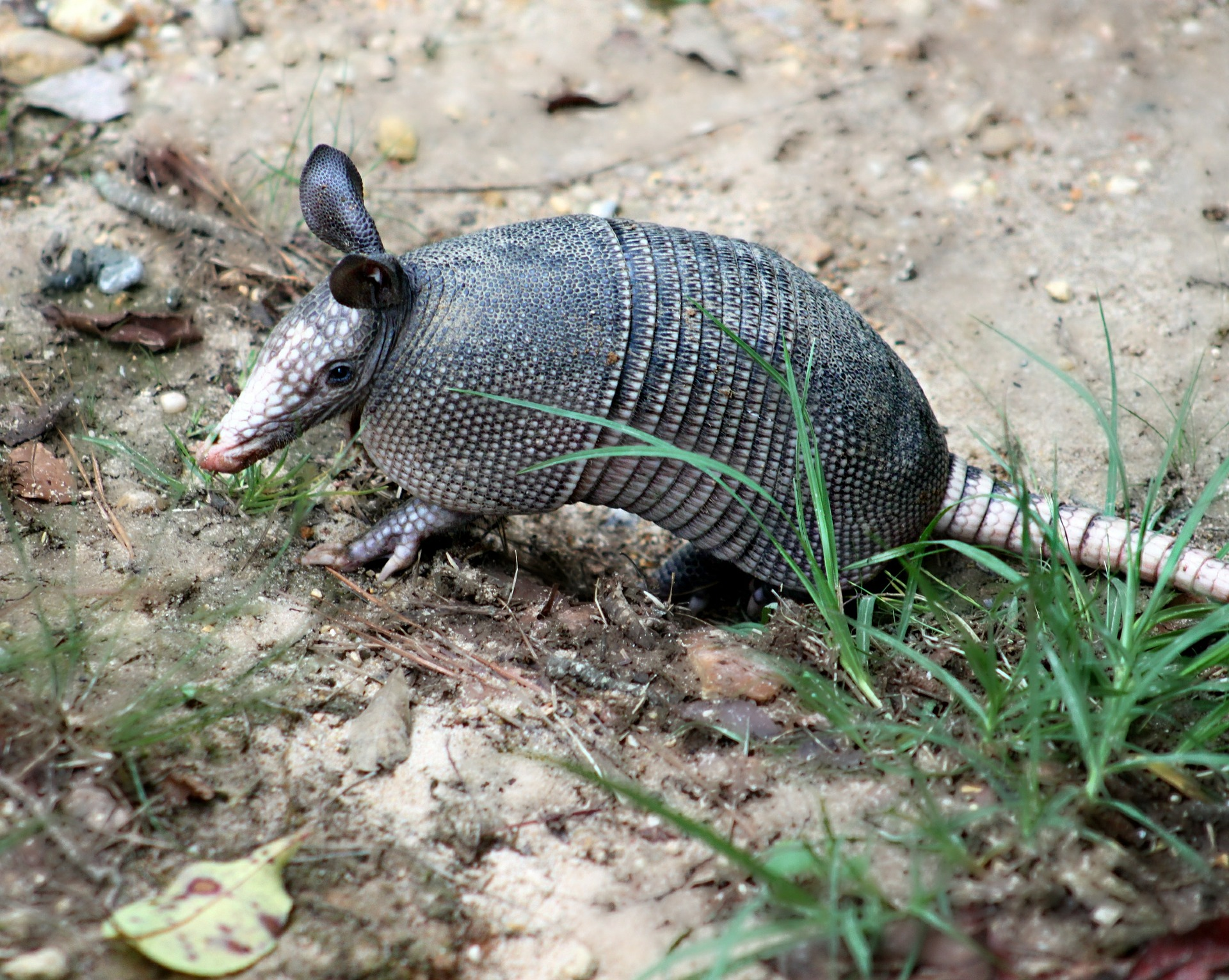Picture of armadillo foraging