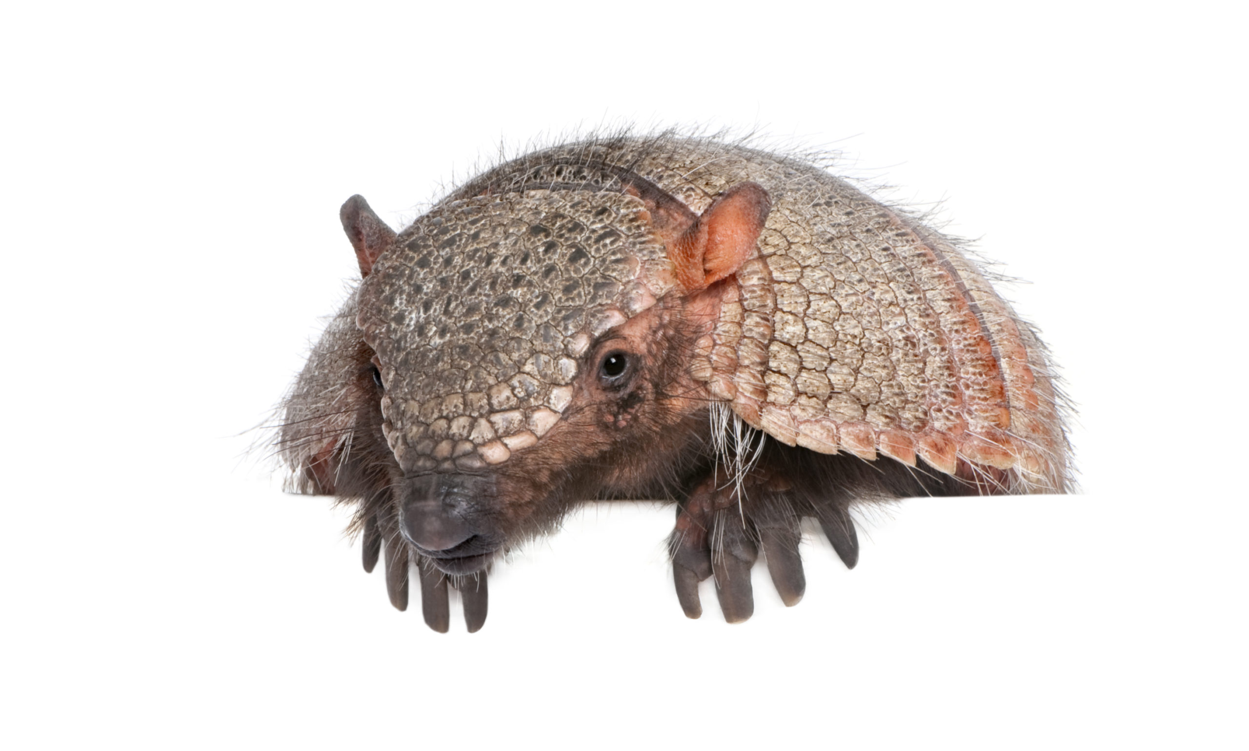 Portrait of a hairy armadillo