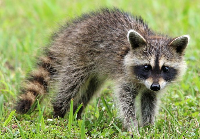 image of a rabid raccoon