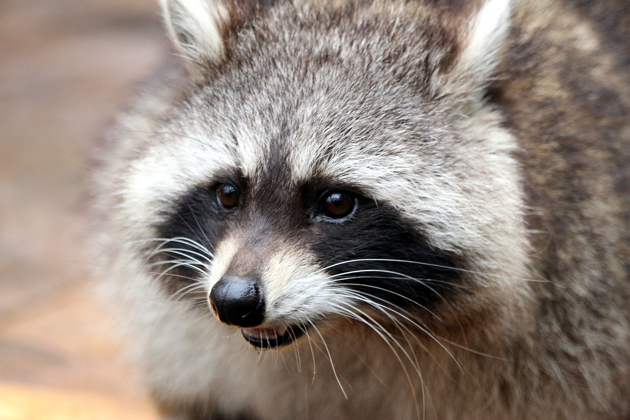 Photo of a grey and black raccoon