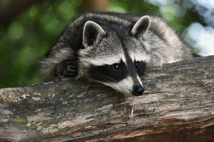 Photo of a raccoon resting in a tree